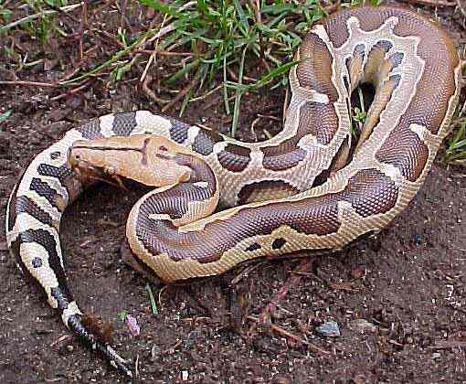 mega python (1)
